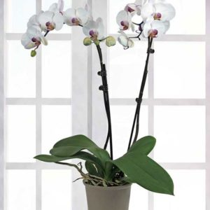 Perfect Peace Orchid Plant - Plants