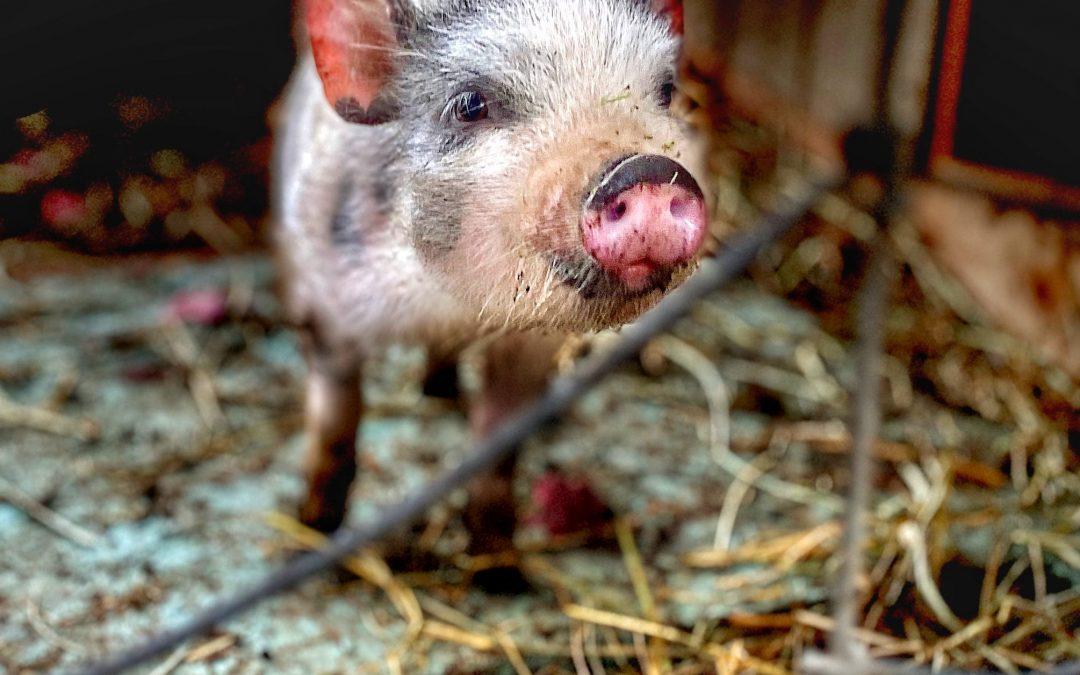 David Scott Leibowitz ~ My Favorite Pig