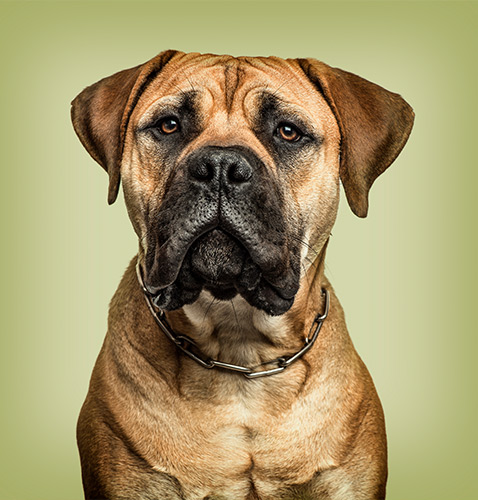 Boxer dog pet photography