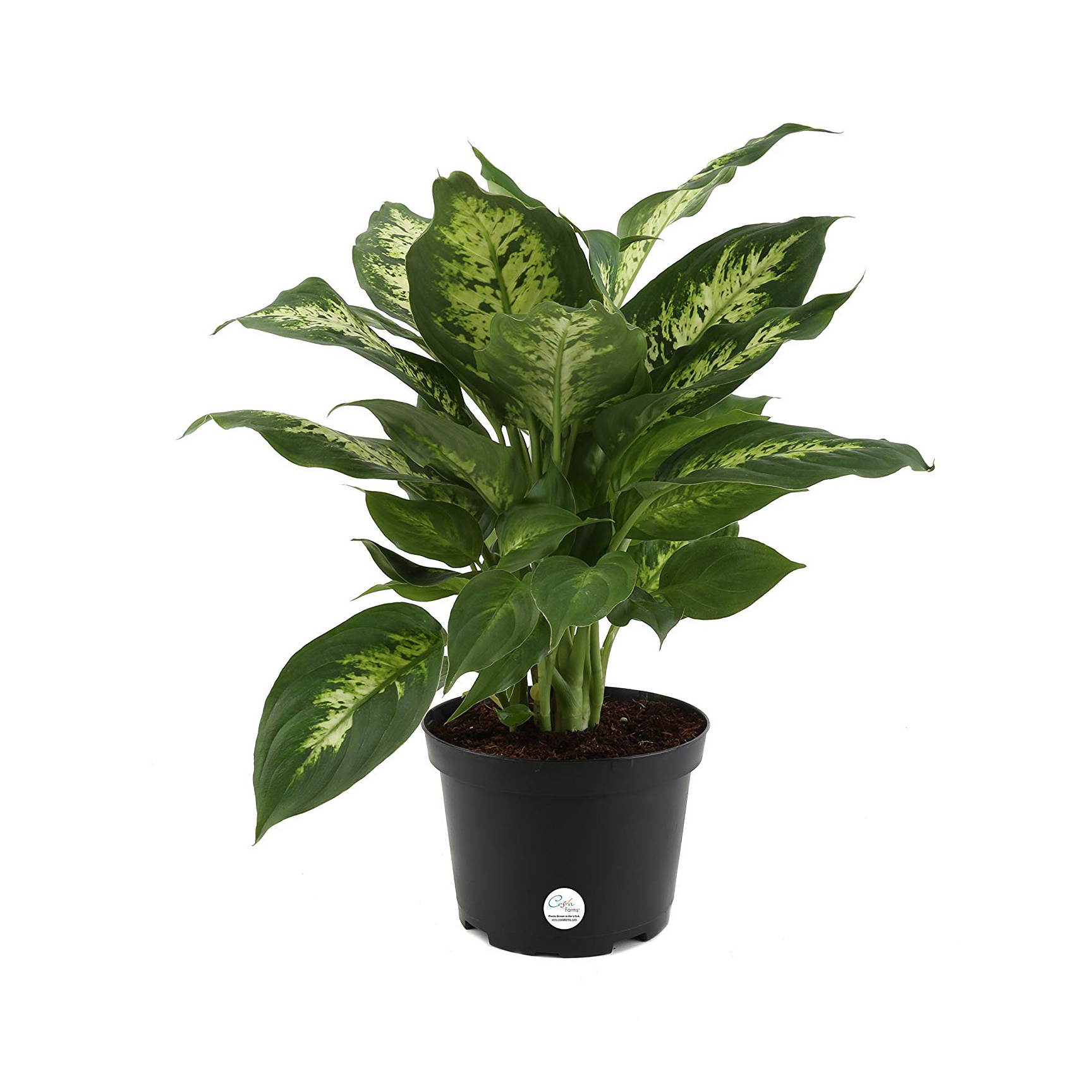 How to Grow and Care for ffenbachia Plants | Apartment ... Houseplant Ffenbachia Low Light on low light health, low light palms, low light flowers outdoors, low light shrubs, low light bromeliads, low maintenance shade plants, low light orchids, low palm bushes, low light trees, low light plants, low maintenance indoor plants, low light landscaping, low light weeds, low light succulents, low light tropicals, low light roses, low light bonsai, low light garden, low light vines, low light cactus,