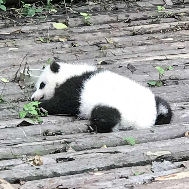 Chengdu Panda Museum