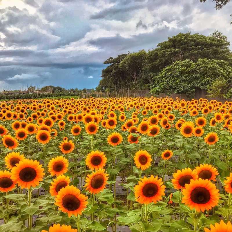 Girasoles Farm Candelaria (Angel's Sunflower Field)
