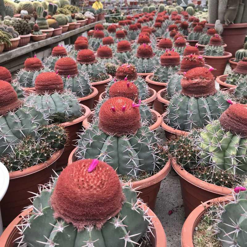 Cactus Point, Brinchang, Pahang.