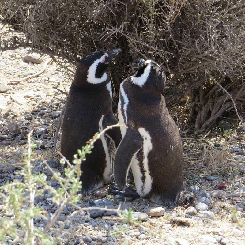 Magellan penguin breeding ground