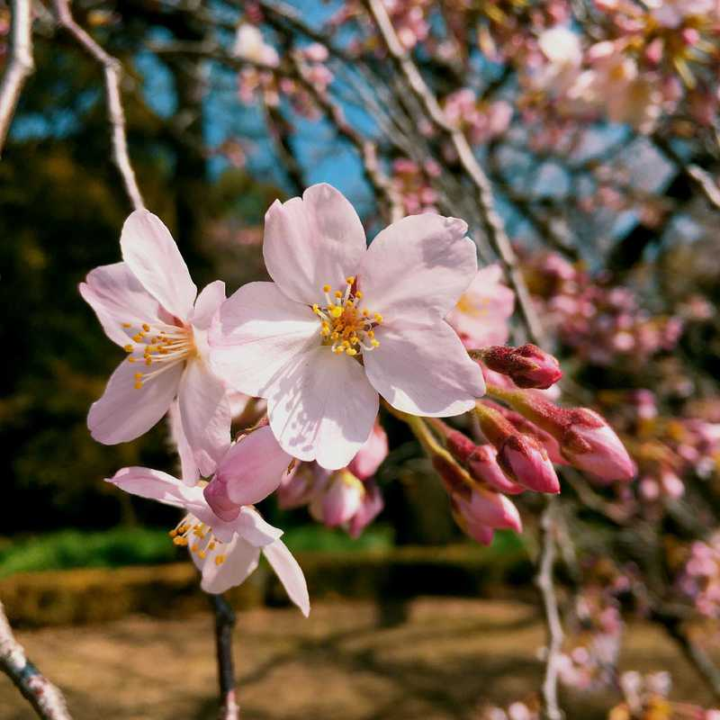 Cherry Blossoms at Shinjuku Gyoen