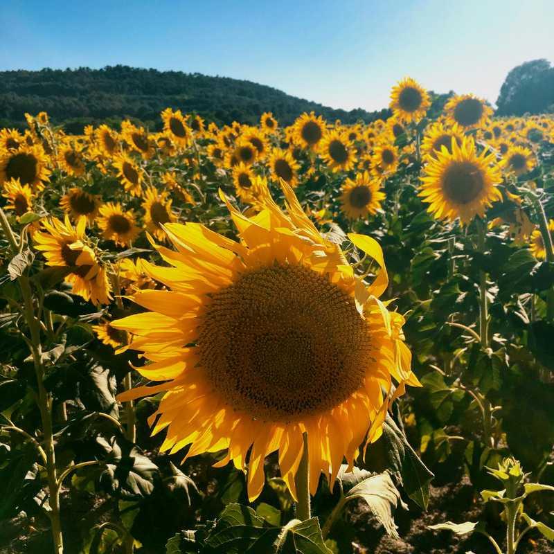 Visit D27 Sunflower Fields