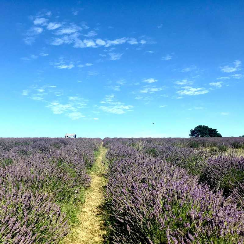 Trip Blog Post by @lavender: Mayfield Lavender Farm, Banstead | 1 day in Aug (itinerary, map & gallery)