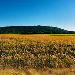 D27 Sunflower Fields