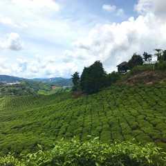 BOH Tea Centre Sungei Palas