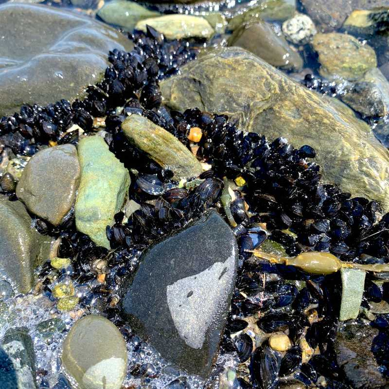 Picking Mussels
