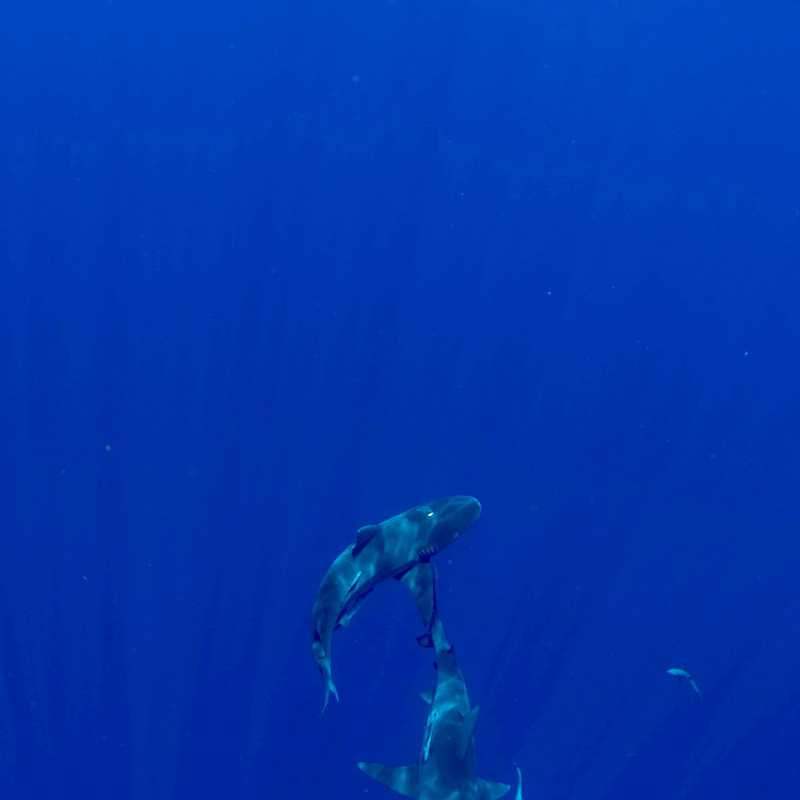Florida Shark Diving