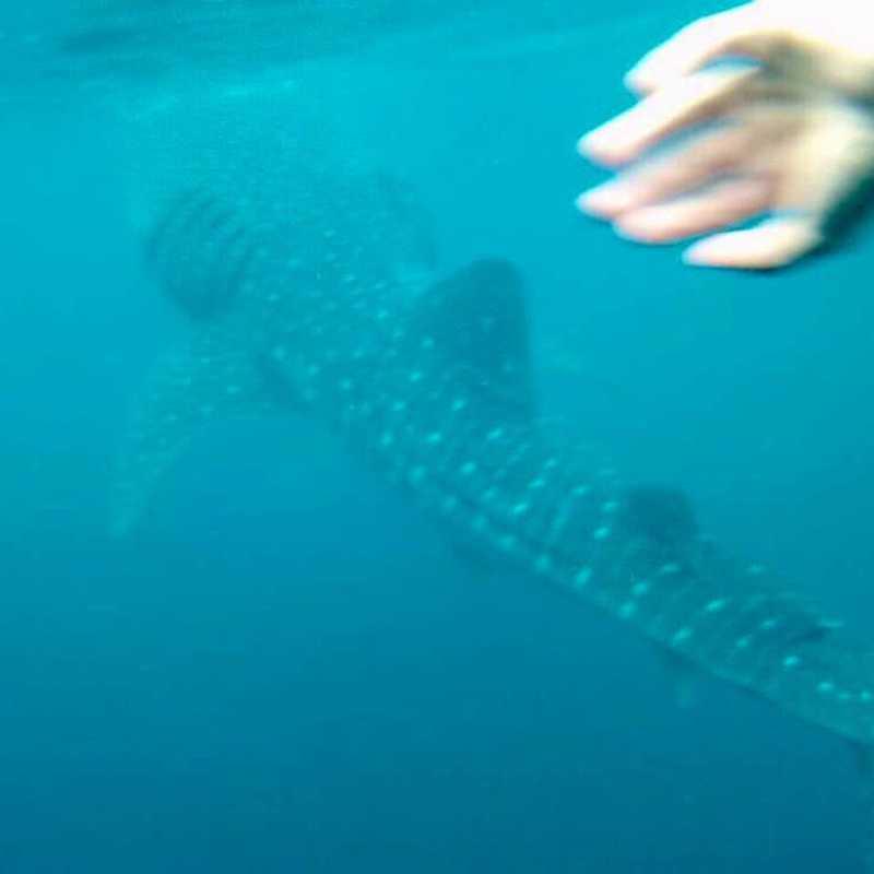 Oslob Whale Shark Tours
