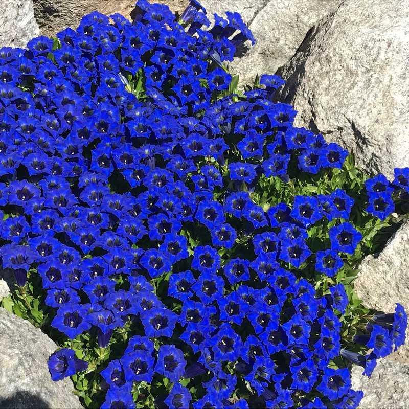 Saussurea Alpine Botanical Garden