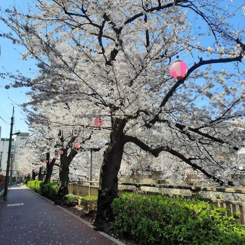 Sakura 2021   1 day trip itinerary, map & gallery