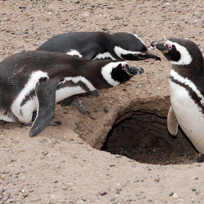 Volunteer Point Penguin Colony