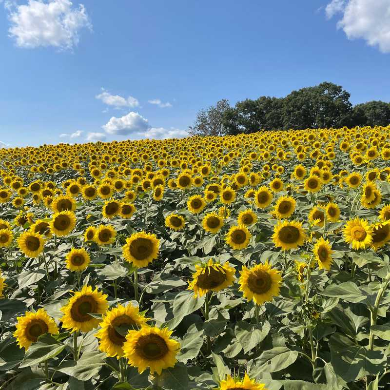 Trip Blog Post by @garypierce46: Beaver Dam Sunflower Festival 2021 | 1 day in Sep (itinerary, map & gallery)