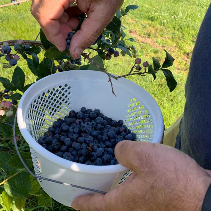 Blueberries!