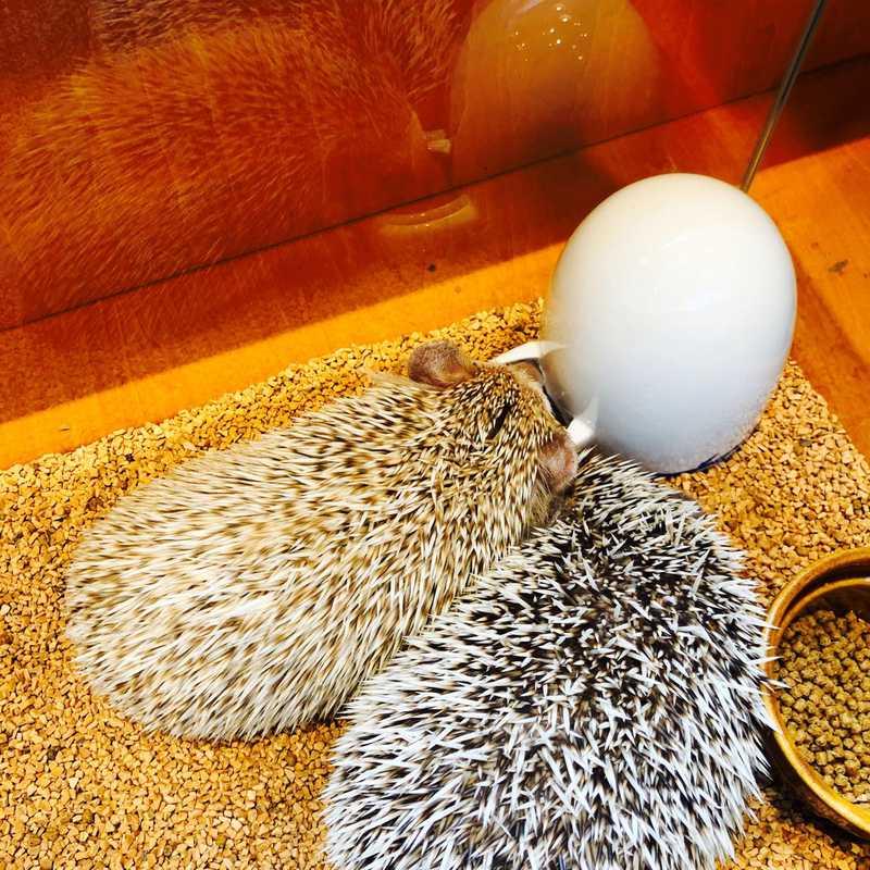 Hedgehog Cafe & Pet Store HARRY Harajuku