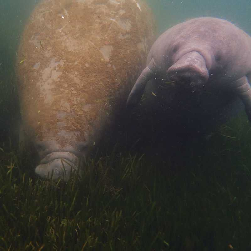 Snorkeling with Manatees