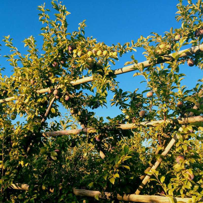 Babylonstoren Garden Fruit Picking