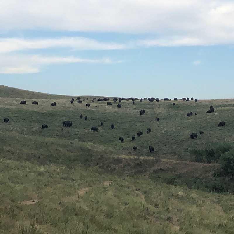 Finally a Buffalo Herd