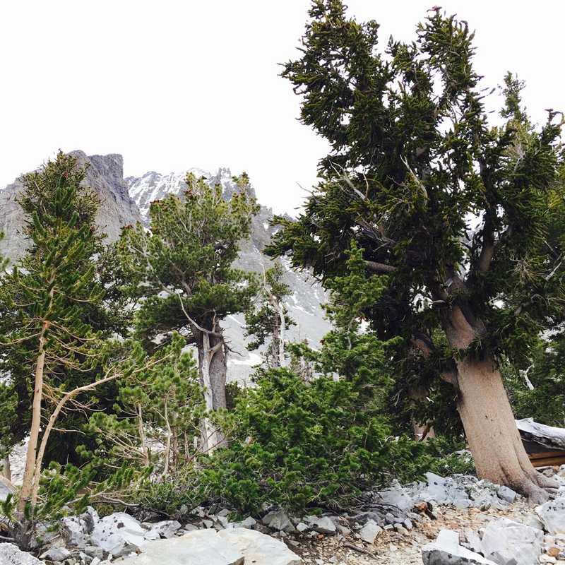 Wheeler Peak Bristlecone Pine Grove