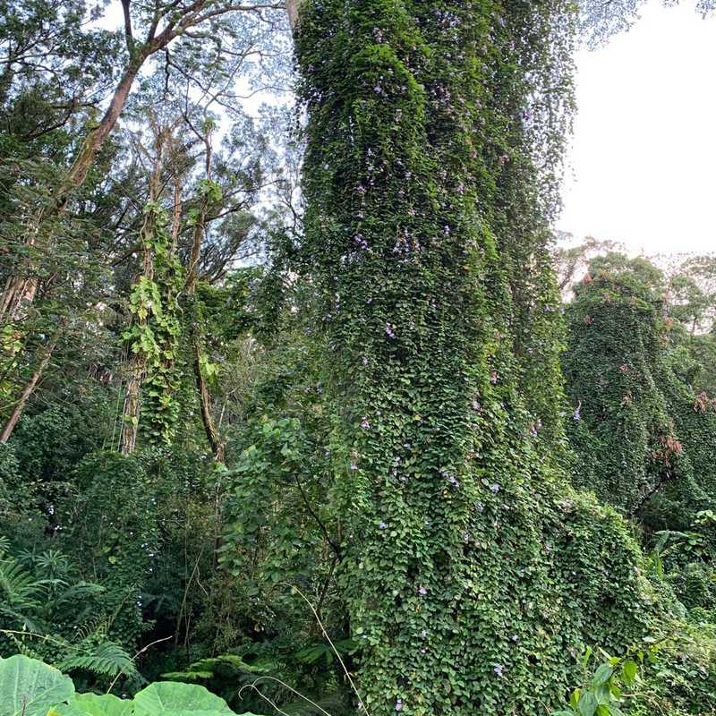 Mānoa Falls Trail