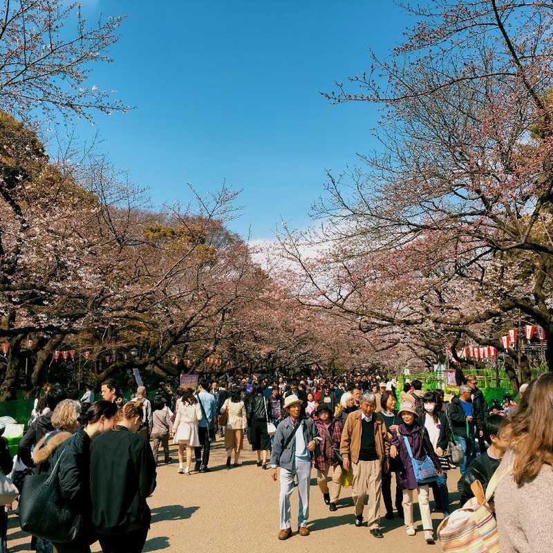 Cherry Blossoms at Ueno Park