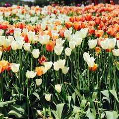 Taean Tulip Festival | POPULAR Trips, Photos, Ratings & Practical Information