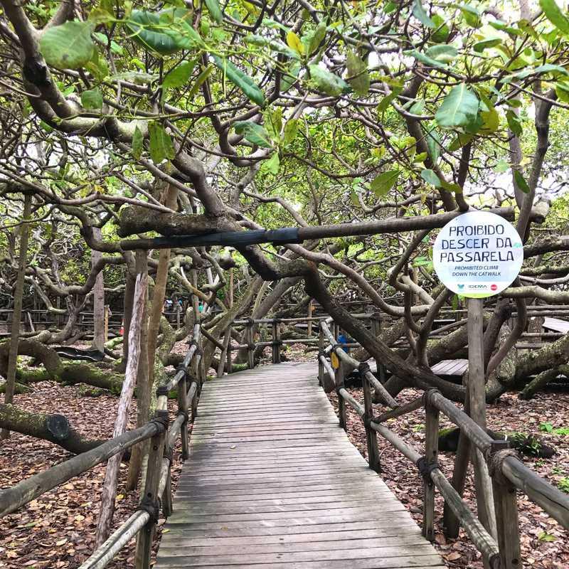 Giant cashew tree