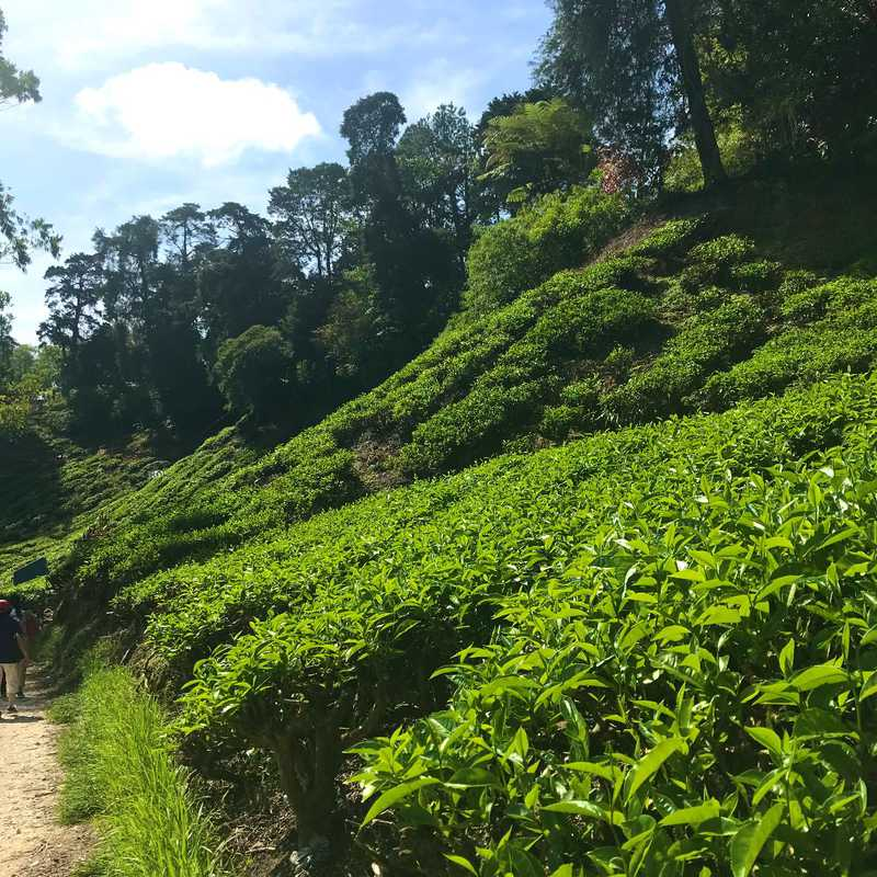 Trip Blog Post by @ASHIYK: MALAYSIA BOH TEA PLANTATION 2019 | 1 day in Apr (itinerary, map & gallery)