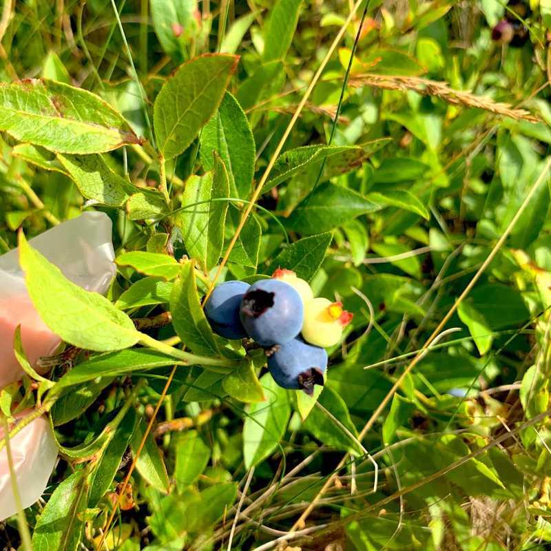 Picking Wild Blueberries