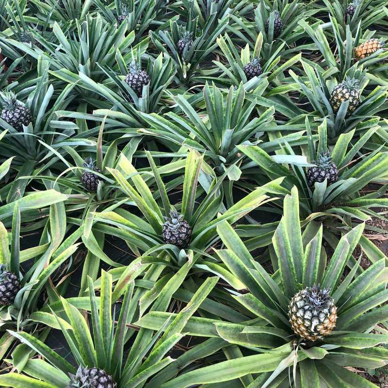 Plantação de Ananás dos Açores