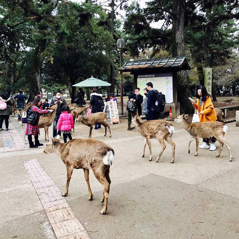 Feeding Deers at Kōfuku-ji