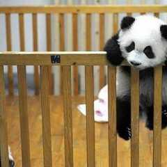 Chengdu Giant Panda Research Base | POPULAR Trips, Photos, Ratings & Practical Information