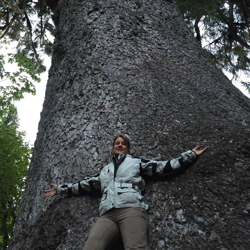 World's Largest Sitka Spruce