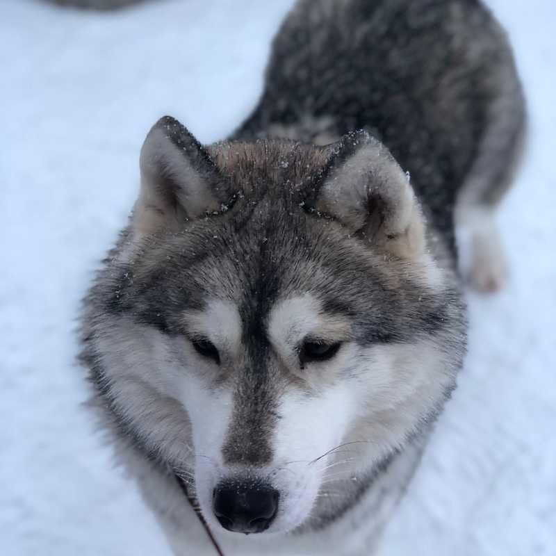 Lapland Husky Safaris