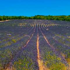 lavender drive