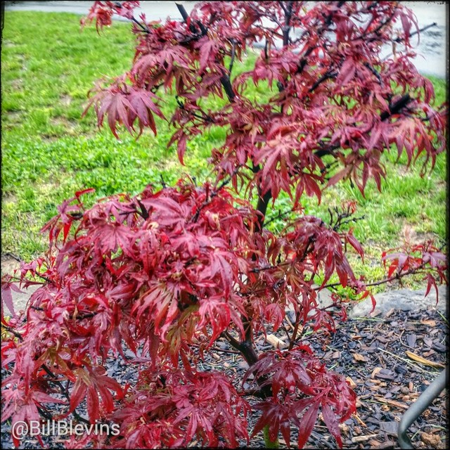 Acer Palmatum Kandy Kitchen By Bill Blevins In Pinetum Plants Map