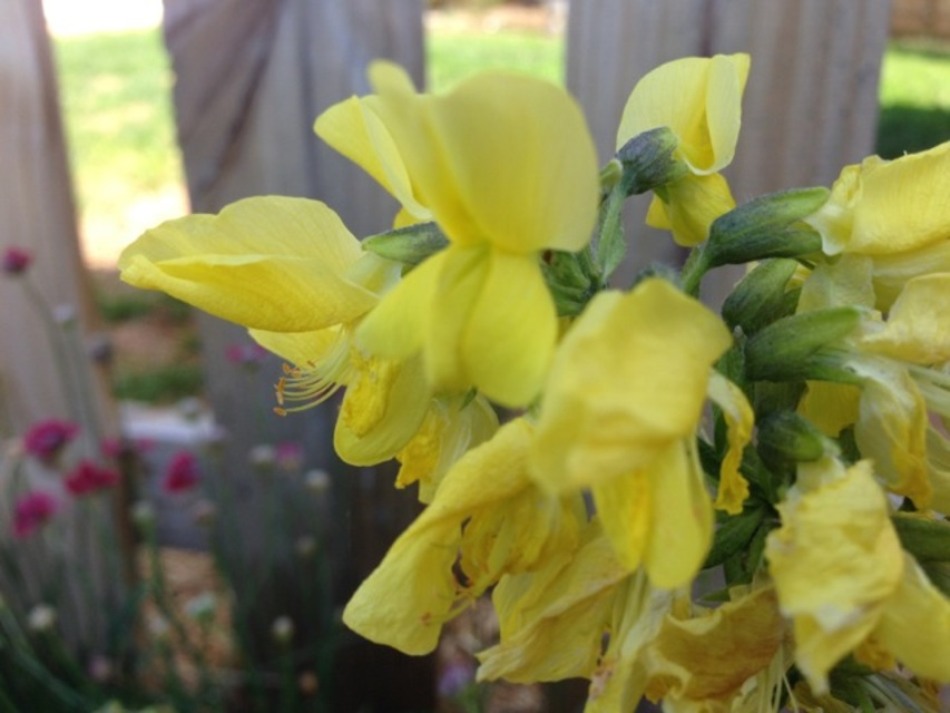 Plant Thermopsis Chinensis Sophia By Tracy Blevins In Cloudy Way
