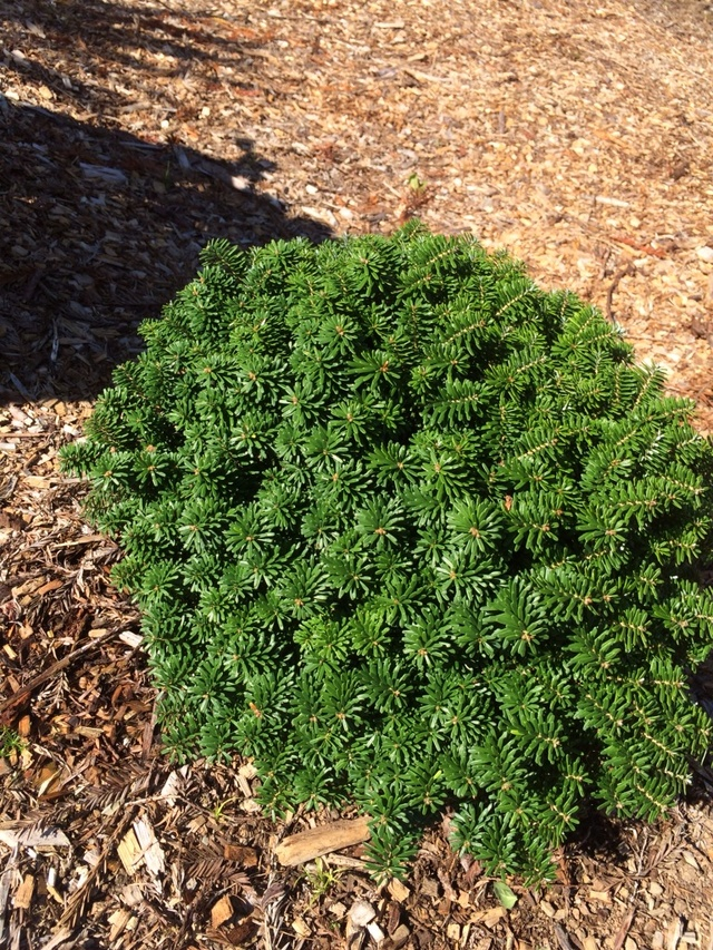 Abies Koreana Cis By Donna Vail In South Planter Plants Map