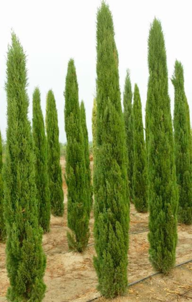 Cupressus sempervirens Totem Pole by Donna Vail | Plants Map
