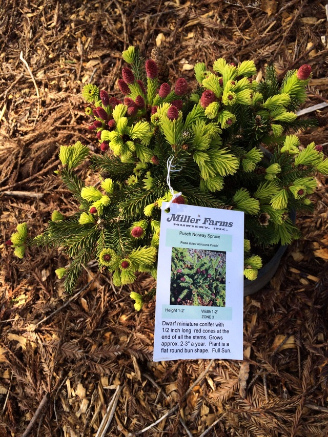 Picea Abies Acrocona Pusch By Donna Vail Plants Map