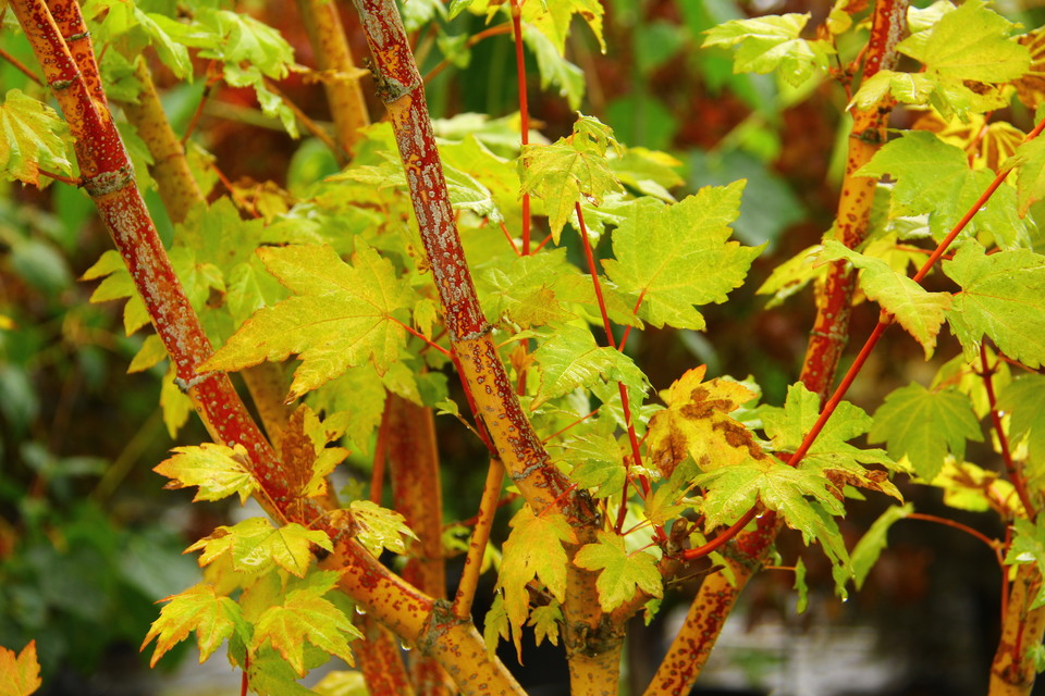 Acer Circinatum Pacific Fire By Conifer Kingdom In Maples Plants Map