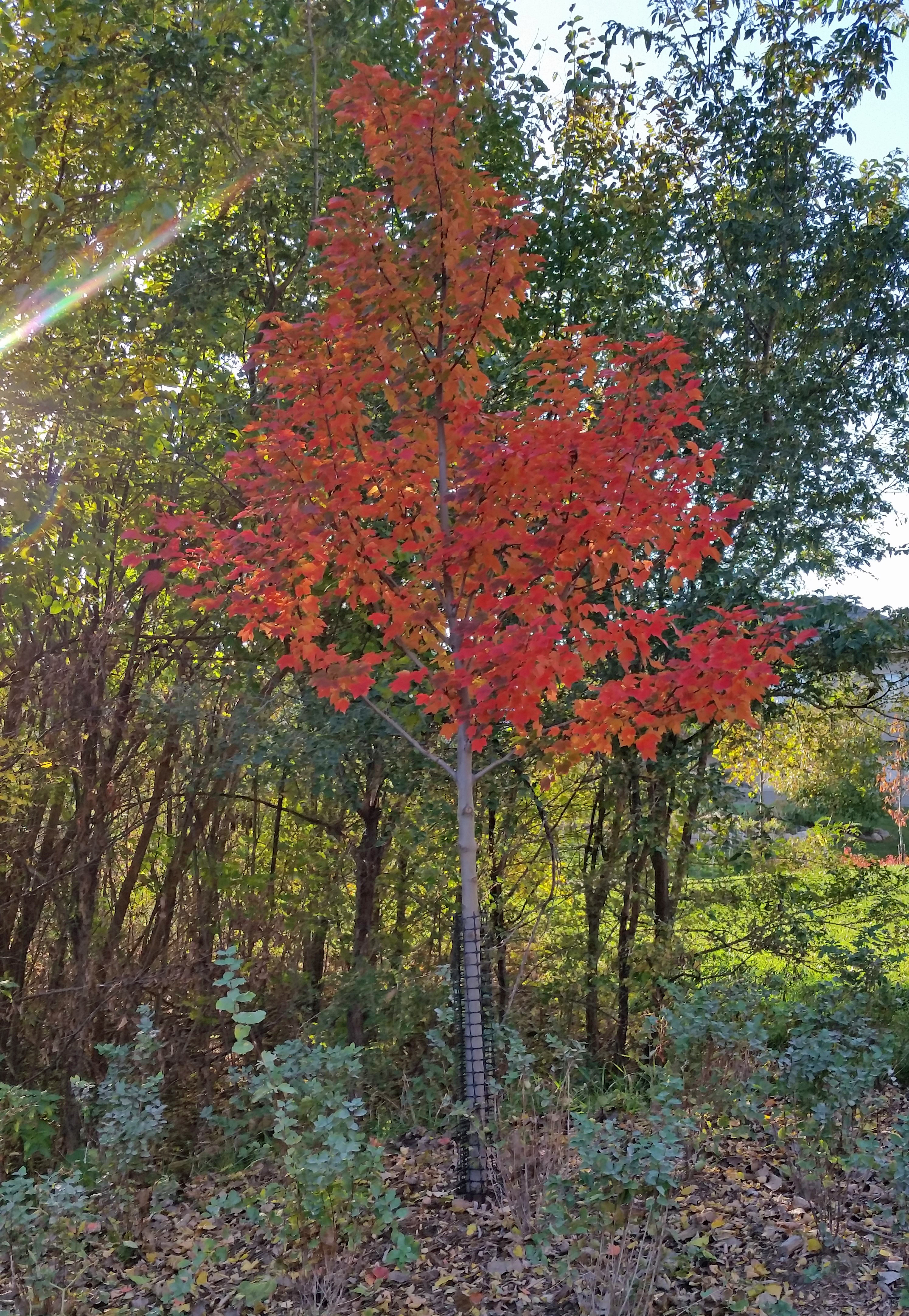 Redpointe Maple By Sid 437 Quail Hollow Park On Plants Map