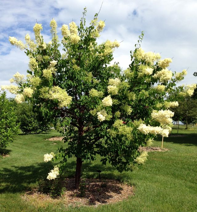 China Snow Tree Lilac By Look Up Virginia Utility Friendly Trees