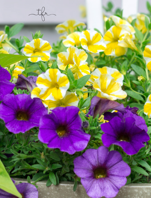Superbells lemon slice calibrachoa by the freckled rose in - Calibrachoa superbells ...