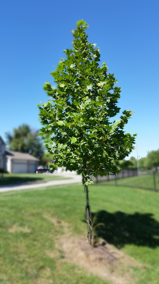 Exclamation Sycamore By Sid 437 Quail Hollow Park Omaha