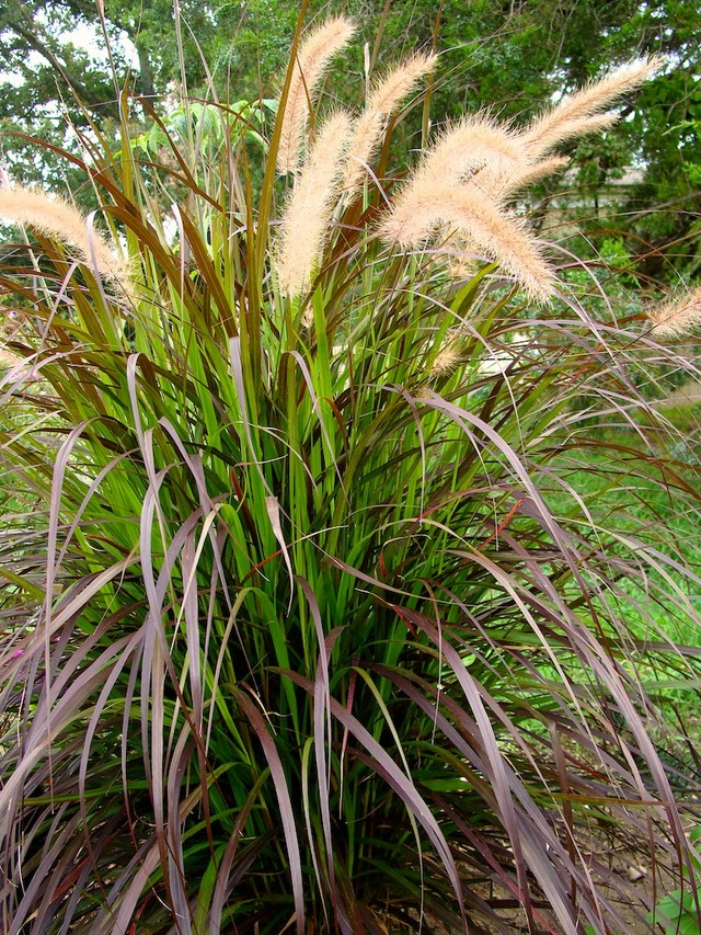 pennisetum setaceum 39 rubrum 39 purple fountain grass by gringopeligroso in annuals plants map. Black Bedroom Furniture Sets. Home Design Ideas