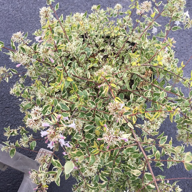 Linnaea Grandiflora Twist Of Lime Abelia By Tracy Blevins In For